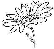 small daisy drawing